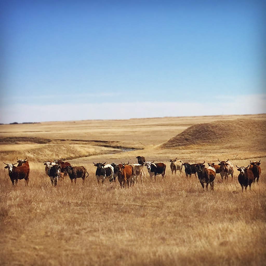 Cattle outside Carpenter, Wyoming (Photo courtesy of Michelle Borg)